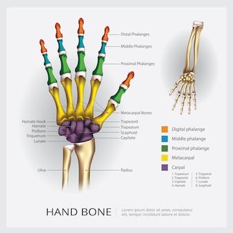 Ilustración de hueso de mano