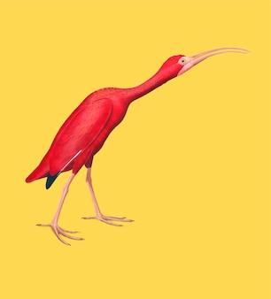Ilustración de ibis escarlata