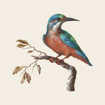 Ilustración de ijsvogel (martín pescador común)