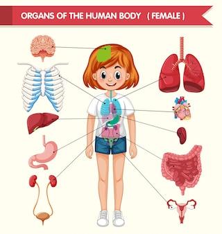 Ilustración médica científica de los órganos del cuerpo humano.