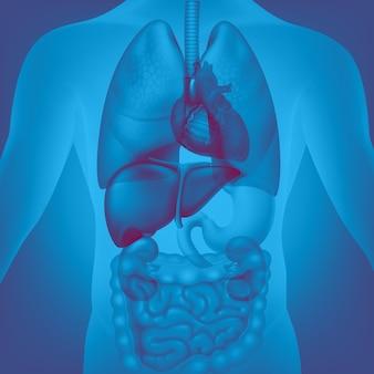 Ilustración médica de los órganos internos humanos.