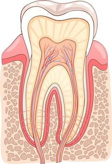 Ilustración médica de la sección de dientes
