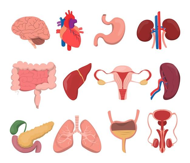 Ilustración de órganos humanos internos Vector Premium