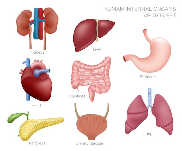 Ilustración de órganos humanos