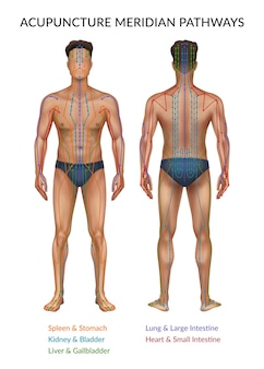 Ilustración de la parte delantera y trasera del cuerpo humano.