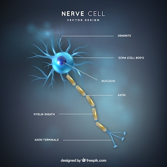 Ilustración de partes de neurona