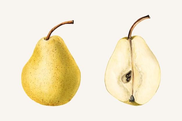 Ilustración de peras vintage. ilustración mejorada digitalmente de la colección de acuarelas pomológicas del departamento de agricultura de ee. uu.