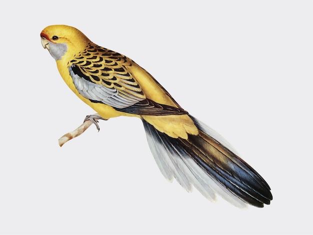 Ilustración de periquito de rabadilla amarilla