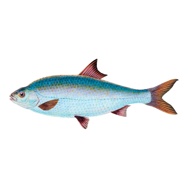 Ilustración de pescado de la vendimia