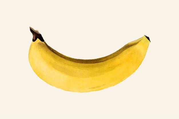 Ilustración de plátano vintage. ilustración mejorada digitalmente de la colección de acuarelas pomológicas del departamento de agricultura de ee. uu.