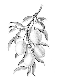 Ilustración de rama de limón blanco y negro vintage aislado sobre fondo blanco.