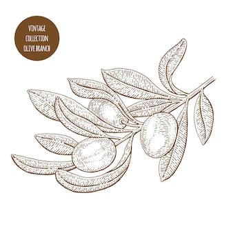 Ilustración de la rama de olivo