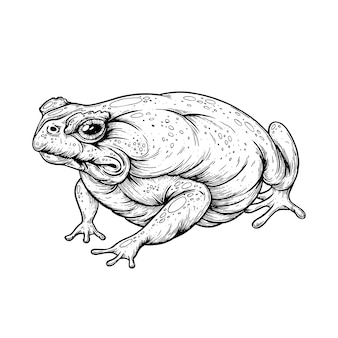 Una ilustración de rana dibujada con pluma y tinta.