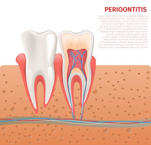 Ilustración realista de la anatomía del diente en 3d vector