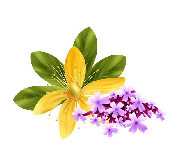 Ilustración realista de hierbas con flores de tomillo y tutsan.