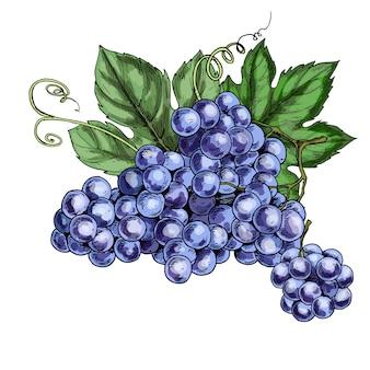 Ilustración realista de uvas