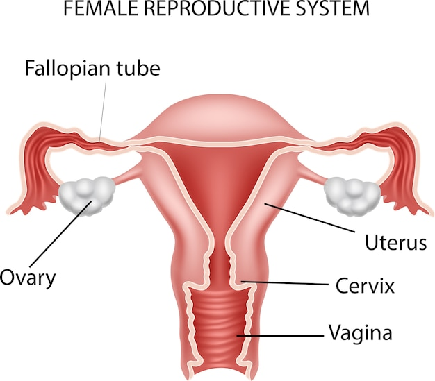 Ilustración del sistema reproductivo femenino