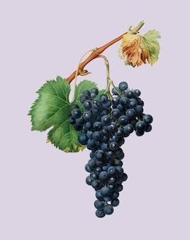 Ilustración de uva espiga de pomona italiana