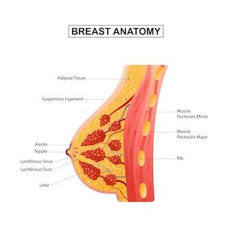 Ilustración de vector de anatomía de mama femenina
