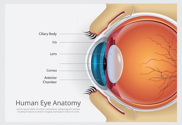 Ilustración de vector de anatomía del ojo humano