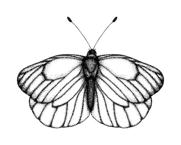 Ilustración de vector blanco y negro de una mariposa. bosquejo de insecto dibujado a mano. dibujo gráfico detallado de blanco veteado negro en estilo vintage.