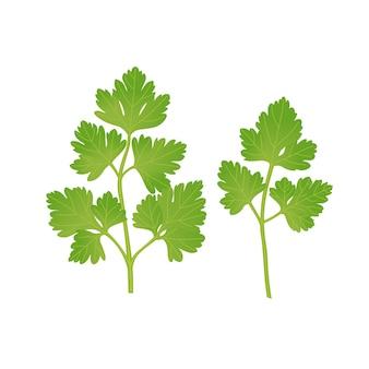 Ilustración de vector de hojas de perejil verde