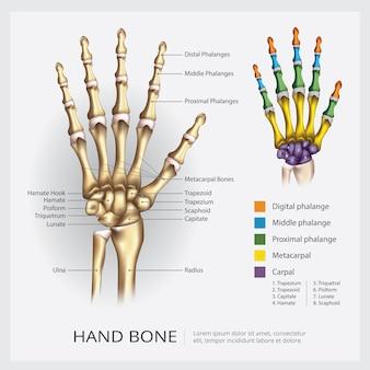Ilustración del vector del hueso de la mano humana