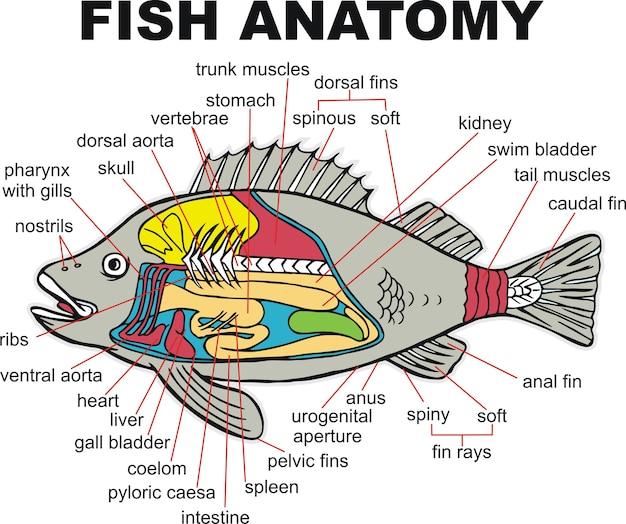 Ilustración de vector de peces de anatomía