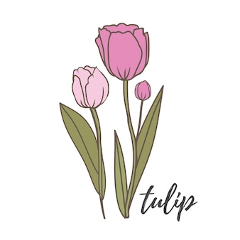 Ilustración de vector de tulipán tulipán rosa sobre fondo blanco