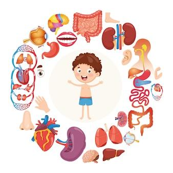 Ilustración vectorial de órganos humanos