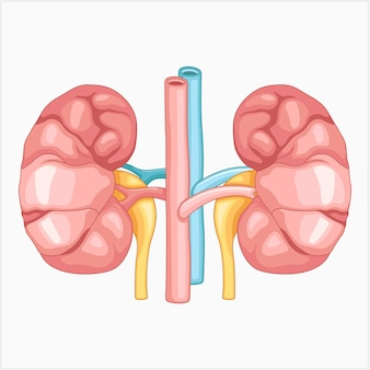Ilustración vectorial de un riñón