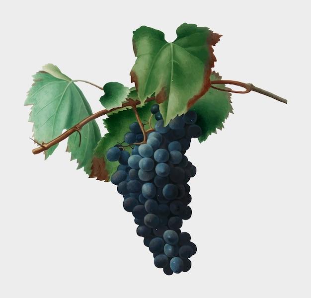Ilustración de la vid de uva de pomona italiana