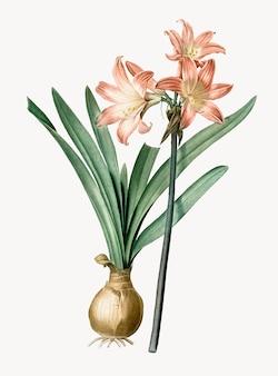 Ilustración vintage de amaryllis belladonna