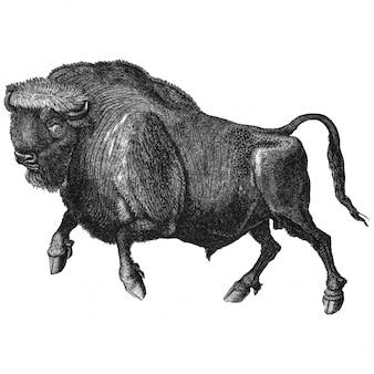 Ilustración vintage de búfalo