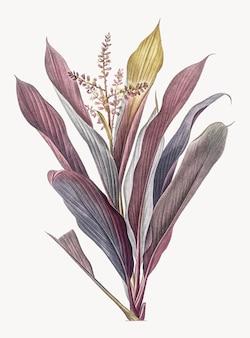 Ilustración vintage de cordyline fruticosa
