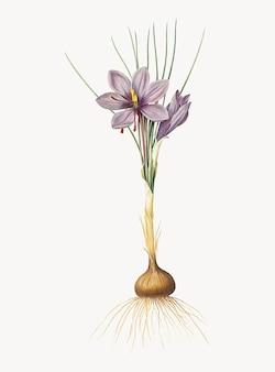 Ilustración vintage de crocus sativus