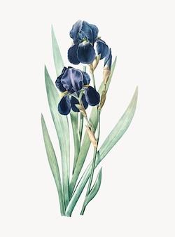 Ilustración vintage de iris alemán
