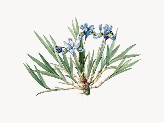 Ilustración vintage de iris crestado enano