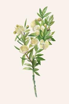 Ilustración vintage de rama de mirto