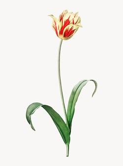 Ilustración vintage de tulipán de didier
