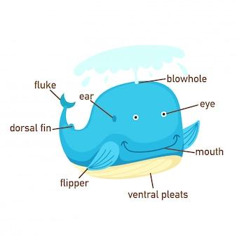 Ilustración del vocabulario de ballena parte de body.vector.