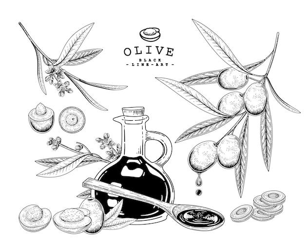 Ilustraciones botánicas de oliva dibujado a mano.