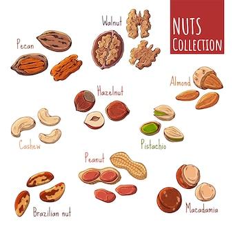 Ilustraciones coloridas del vector en el tema de las nueces.