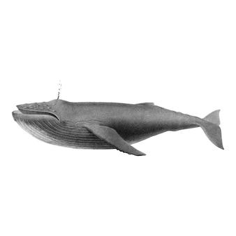 Ilustraciones vintage de ballena jorobada