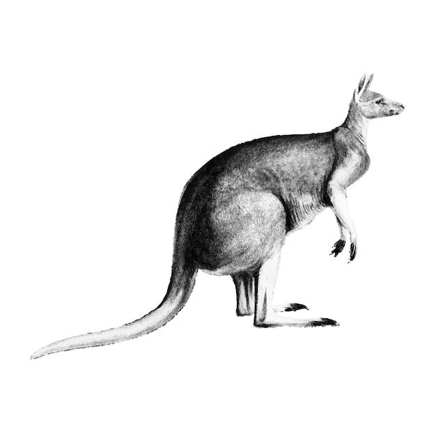 Ilustraciones vintage de el canguro rojo.