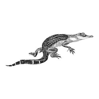 Ilustraciones vintage de cocodrilo