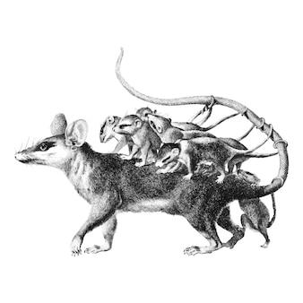 Ilustraciones vintage de opossum