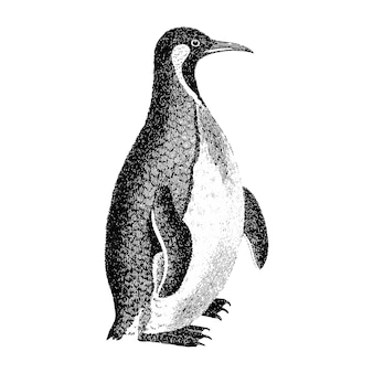 Ilustraciones vintage de pingüino patagónico.