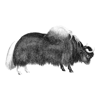 Ilustraciones vintage de yak