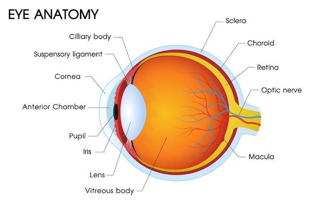 Ilustrador de una anatomía del ojo humano.